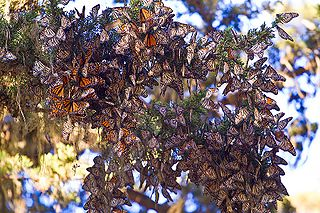 Monarch butterflies wintering on a tree in California