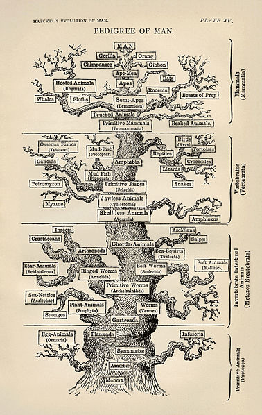 The phylogenetic tree of life as produced by Ernst Haeckel.