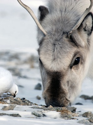 Wild Svalbard reindeer and Svalbard rock ptarmigan co-feeding on an ice-free ridge in late winter