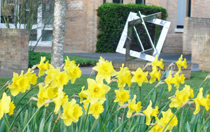Daffodils outside the Isaac Newton Institute in Cambridge.