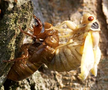 The birth of a periodical cicada