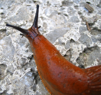 A brown slug