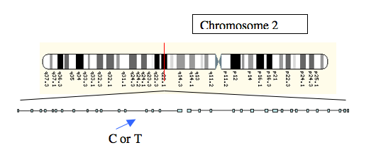 Figure 2: The location of the <b>C</b> or <b>T</b> alleles, a little upstream of the lactase gene on Chromosome 2.