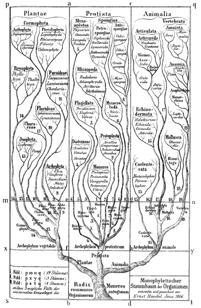 The tree of life as drawn by Ernst Haeckel..