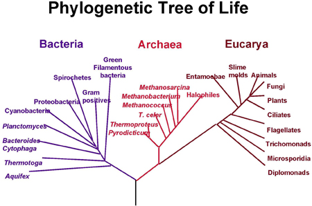 A phylogenetic tree
