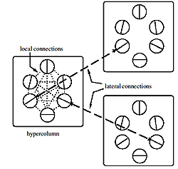 Connections in V1: Neurons interact with most other neurons within a hypercolumn. But they only interact with neurons in other hypercolumns, if the columns lie in the direction of their orientation, and if the neurons have the same preference. Image from <a href='#two'>[2]</a>, used by permission.