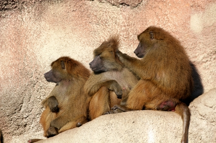 Grooming monkeys