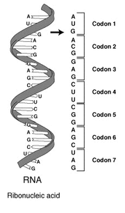 RNA to codon to protein chain